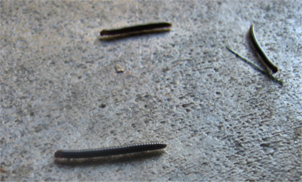 soul amp photo of millipedes invading a garage in west allis, wi, small black millipedes in house, tiny centipedes in house, tiny centipedes in houseplant soil