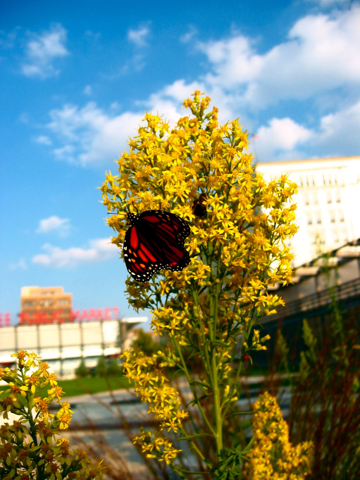 Fall 2008 Monarch Butterfly Migration in Milwaukee Wisconsin - soul-amp.com