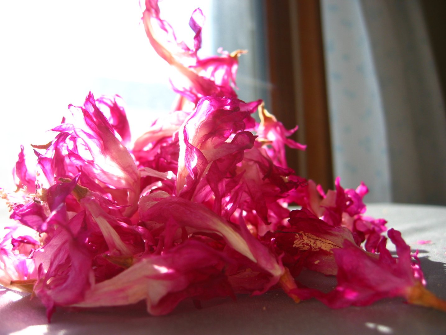 Christmas Cactus Pink Flowers in a pile looking like a fire - soul-amp.com